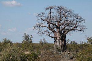 450px-Baobab_Tree-001