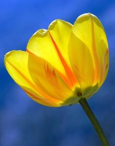 tulip-271352_640